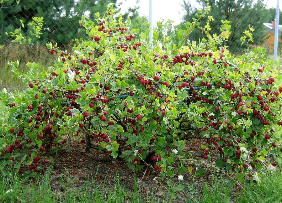 Как правильно обрезать ягодные кустарники