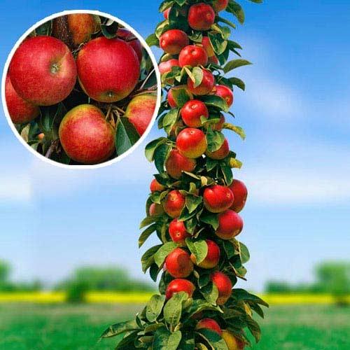 Все о яблонях