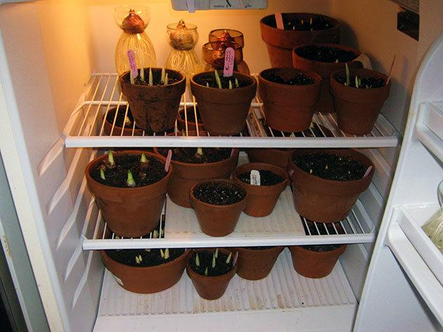 Гиацинт - выращивание, уход, размножение