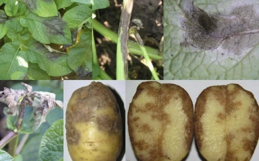 Пять советов для успешного сбора урожая картофеля