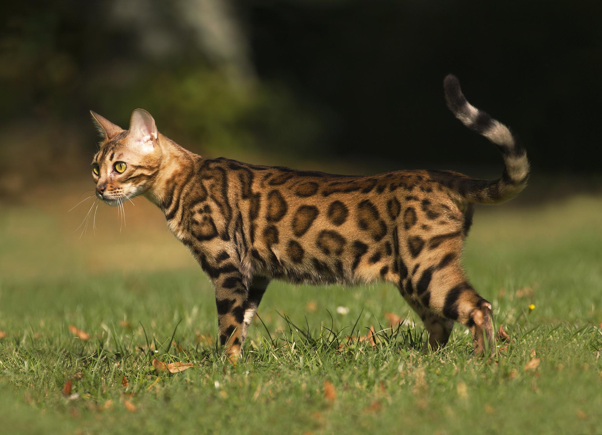 Кошки - пятнистые породы домашних любимцев