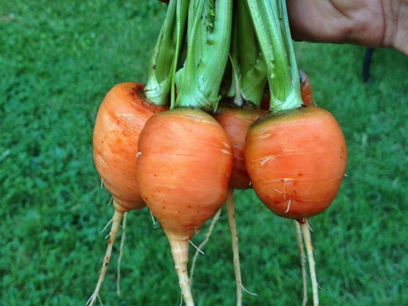 Выращивание моркови на балконе