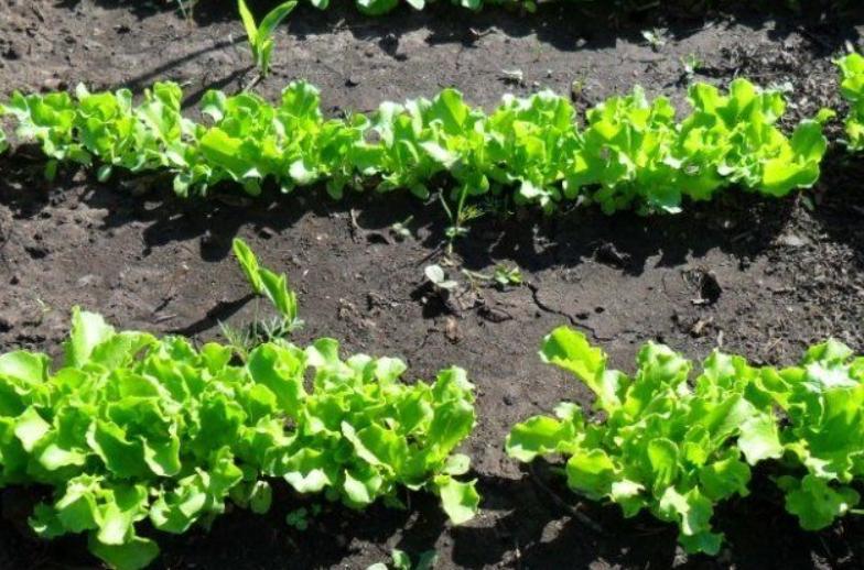Как выращивать салат листовой