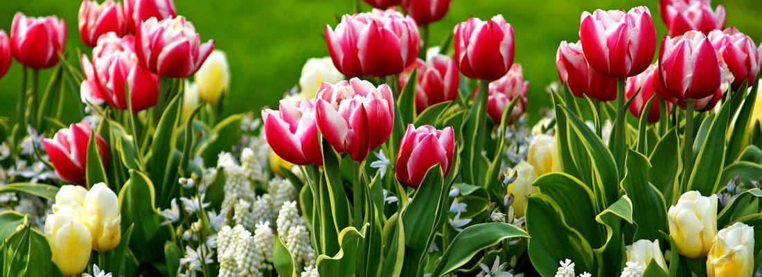 Как выращивать и размножать тюльпаны