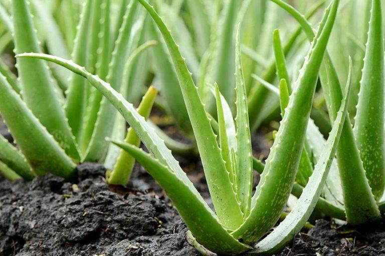 Алоэ - правда и ложь волшебного растения