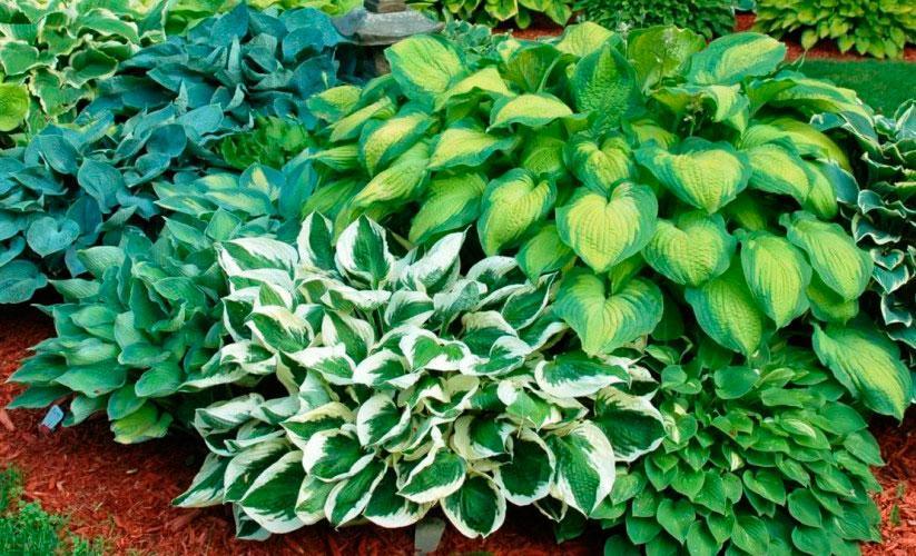 Многолетние растения для альпийских горок